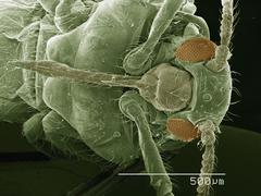 Coloured SEM of winged adult aphid - stock photo