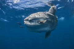 Underwater view of mola mola, ocean sunfish, Magadalena bay, Baja California, - stock photo