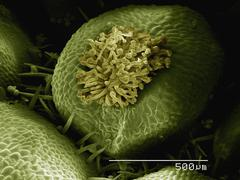 Coloured SEM of flower of false rue anemone (Enemion sp) - stock photo