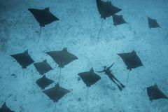 Underwater overhead view of spotted eagle rays and scuba diver casting shadows - stock photo