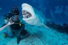 Dive master hand feeding female bull shark, Playa del Carmen, Quintana Roo, Stock Photos