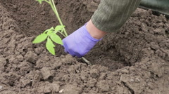 Woman planting pepper seedling in the garden Stock Footage