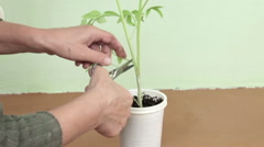 Grafting Tomato Plants Stock Footage