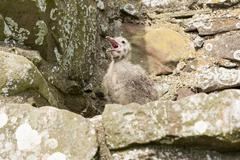 A small gull baby, Dunnottar Castle is a ruined castle in Aberdeenshire, - stock photo