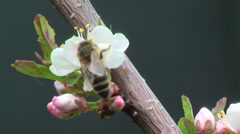 Bee collects nectar on plum - stock footage