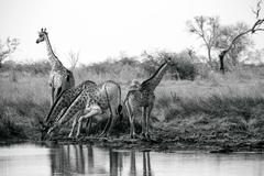 Tower of giraffes drinking at water pan, Okavango Delta, Botswana Stock Photos