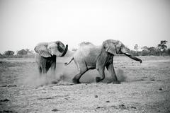 Elephants playing, Kruger National Park, South Africa Stock Photos