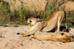 Lioness stretching, Sabi Sand Game Reserve, South Africa - stock photo