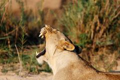 Lioness yawning, Sabi Sand Game Reserve, South Africa - stock photo