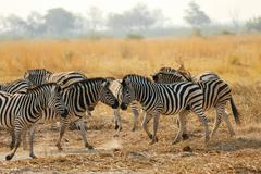 Dazzle of zebra, Botswana Stock Photos