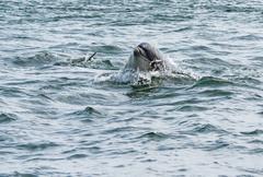 Tursiops while swimming, Chanonry Point, Bottlenose Dolphins, Black Isle Kuvituskuvat