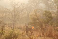 Male waterbuck at sunset, Kruger National Park, South Africa - stock photo