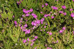 Closeup of a heather plant, Isle of Skye, Heide - stock photo