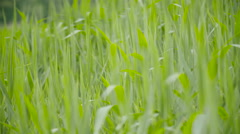 Green sedges, reeds and grass swaying in the wind Stock Footage