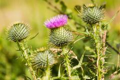 Close up of a thistle, Cawdor Castle, a castle is a few kilometers north-east of Stock Photos