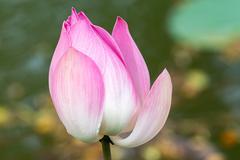 Close up of a white-purple flower, Bogor Botanical Gardens, Botanical Garden Stock Photos