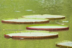 Water lilies, Bogor Botanical Gardens, Botanical Garden Stock Photos