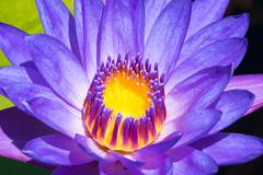 Close up of a water lily, water lily in Brahma Vihara Arama, Buddhist temple on Stock Photos