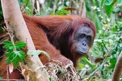 Closeup of orangutans, orangutan of Tanjung Puting National Park Stock Photos
