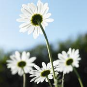 Rear view of sunlit daisies against blue sky Stock Photos