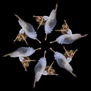 Composite repetition circle of six female ballet dancers leaping - stock photo