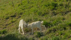 Two Goat Kids Fighting On Green Pasture - stock footage
