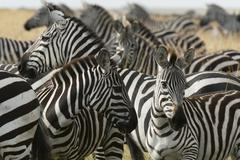 Plains zebras (Equus quagga), Masai Mara, Kenya, Africa - stock photo