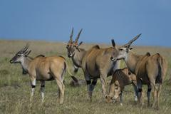 Common elands (Taurotragus oryx), Masai Mara, Kenya, Africa Stock Photos