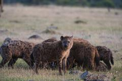 Spotted hyenas (Crocuta crocuta), Masai Mara, Kenya, Africa - stock photo