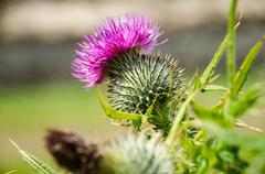 Close up of a thistle, Isle of Skye, thistle, which is the national symbol of Stock Photos