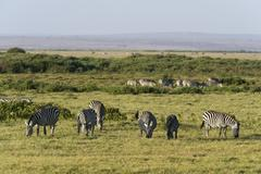 Common zebras (Equus quagga), Amboseli National Park, Kenya, Africa - stock photo