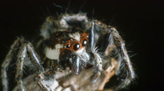 Close-up of a jumping spider (family Salticidae). Stock Footage