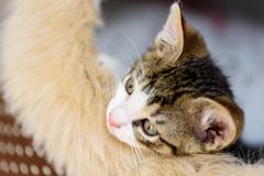 Baby Tabby Cat In Kitty Basket - stock photo