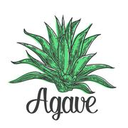 Cactus blue agave. Vintage vector engraving illustration for label, poster, web Stock Illustration