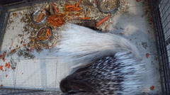 Porcupines in the petting zoo Stock Footage
