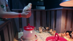 Chickens in the petting zoo Stock Footage