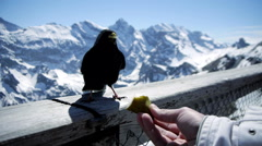 Winter vacation. black birds. feeding. tourist tourism. mountain landscape. Stock Footage