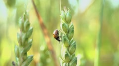 Gods cow. ladybird. slow motion 1080 Stock Footage
