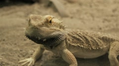 Lizard. desert animals. dry sand Stock Footage