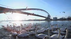 Swan group. flying seagulls. slow motion. bridge landscape. lake pond Stock Footage