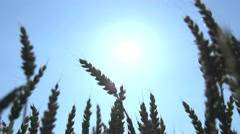 Agriculture wheat cornfield background Stock Footage