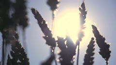 agriculture wheat cornfield farming sunset slow motion - stock footage