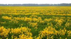 Yellow field and flowers swaying in the breeze Stock Footage