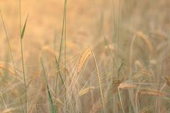 Wheat ear closeup in field - cereal background Kuvituskuvat