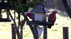 Galahs feed on a farm bird-feeder, and fly off. Stock Footage