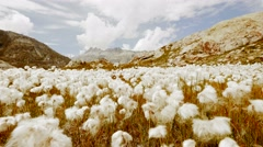 Cotton field flowers in mountain landscape scenery Stock Footage