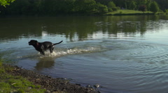 A Cane Corso pup searching for a branch in a pond in Prague. Stock Footage