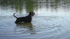 A Cane Corso 8m old pup stands in the cool water of the pond, looks around Stock Footage