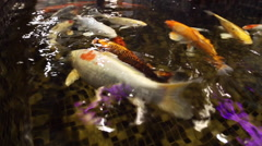 Colored carps koi swim in the pool Stock Footage