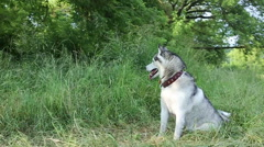 Siberian husky sits in shade of the trees. Stock Footage